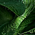 Light on Hostas Leaves by cclaude