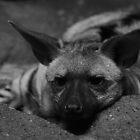 Aardwolf - Cincinnati by Tony Wilder