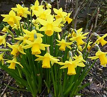 Daffodils In The Spring Sunshine by Fara