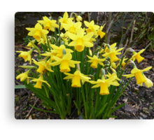Daffodils In The Spring Sunshine Canvas Print