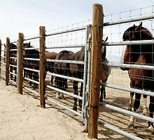 Captured Mustangs by Corri Gryting Gutzman