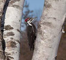 Pileated by Eunice Gibb