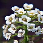 White Sweet Alyssum / Alison Flower Closeup / Macro by Erik Anderson