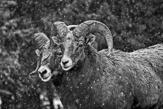 Bighorn Brothers in colorized grey by JamesA1