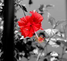 Red Hibiscus by OrsiniM