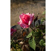 Spring Glow In Pink - a Sweetheart Rosebud With Dewdrops Photographic Print