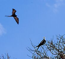 Frigate birds on the Galapagos by Yukondick