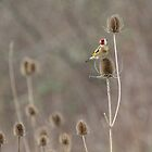 Goldfinch - Carduelis carduelis by Lauren Tucker