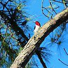 Red Headed Woodpecker by Cynthia48