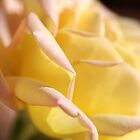 Lush Yellow Rose by Joy Watson