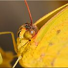 Clouded Sulphur by Chet  King