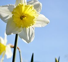 White Ruff Daffodil  by Jessica Reilly