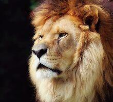 Beautiful Lion by Janel Vazquez
