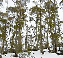 gum trees by photoeverywhere