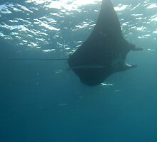 Manta ray feeding on plankton by photoeverywhere