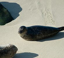 seal on the beach by photoeverywhere