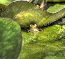 Frog on Lily Pad by maratshdey