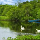 Swans at Cong by Gail S. Haile