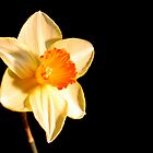 Daffodil by lisa1970