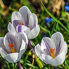 Crocus in focus by Paul Madden