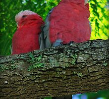 Pretty Pink Galahs by myraj