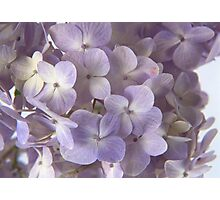 VIOLET FLOWERS Photographic Print