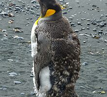 Moulting King Penguin by Kaz-antarctica