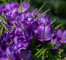 Purple Crocuses by English Landscape Prints