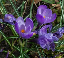 Crocuses by English Landscape Prints