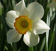 Poet's Daffodil Square by Georgia Mizuleva