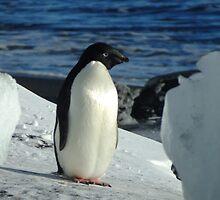 Adelie Penguin - Cape Royds by Karen Stackpole