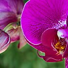 Blooming Orchids by Mary Lewis