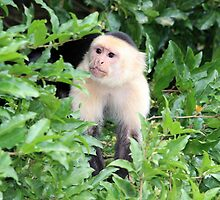 White-faced Monkey by hummingbirds