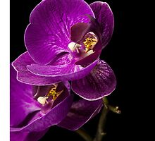 Graceful Purple Orchids by Mary Ann  Lewis