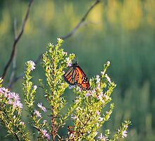 Monarch at Rest by bannercgtl10