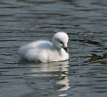 Cygnet by Sue Robinson