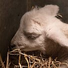 Lamb Asleep by Sue Robinson