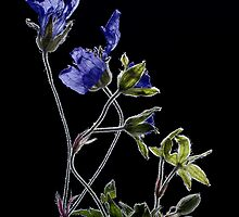 Withered flowers by hanspeters
