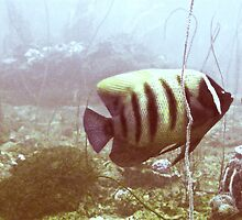 SIX BANDED ANGELFISH by NICK COBURN PHILLIPS
