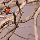 Red Brested Robin  by D-GaP