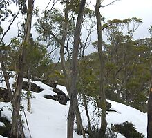 winter gum trees by photoeverywhere