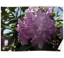 A Cluster of Hot Pink Azalea Flowers Poster