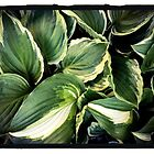 Hosta by Barbara Wyeth