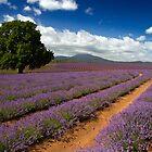 Lone Tree in Lavender - Bridestowe Estate, Tasmania by clickedbynic
