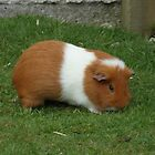 Brown and White guinea pig by LoneAngel