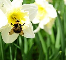 Queen Bee in a Daffodil by Jessica Reilly