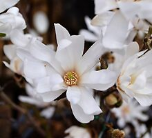 White Spring Magnolias by Jessica Reilly