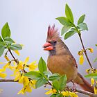 Mrs. Northern Cardinal in Spring Finery by Bonnie T.  Barry
