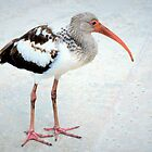 Juvenile white ibis by ?? B. Randi Bailey