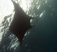 Manta ray swimming overhead by photoeverywhere